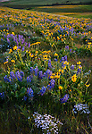 Columbia Hills State Park, WA: Columbia Gorge National Scenic Area, Balsamroot, lupine, and phlox in  bloomimg on the hillsides.