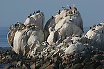 brown pelicans and cormorants on rock near Hopins Marine Science Center