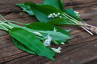 Vergleich Bärlauch (vorne) und Maiglöckchen (hinten), Blätter, Blatt, Blüten, Blüte. Bärlauch, Bär-Lauch, Allium ursinum, Ramsons, Wood Garlic, Wood-Garlic, buckrams, broad-leaved garlic, L'ail des ours, ail sauvage. Maiglöckchen, Gewöhnliches Maiglöckchen, Mai-Glöckchen, Convallaria majalis, Life-of-the-Valley, Lily of the valley, Muguet, muguet de mai