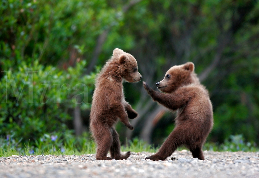 Spring cubs, grizzly or brown bear (Ursus arctos)  in Denali National Park, Alaska.