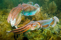 Giant Cuttlefish, Sepia apama, breeding aggregation with two rival males in courtship display, Point Lowly, Whyalla, South Australia, Australia, Spencer Gulf, Southern Ocean