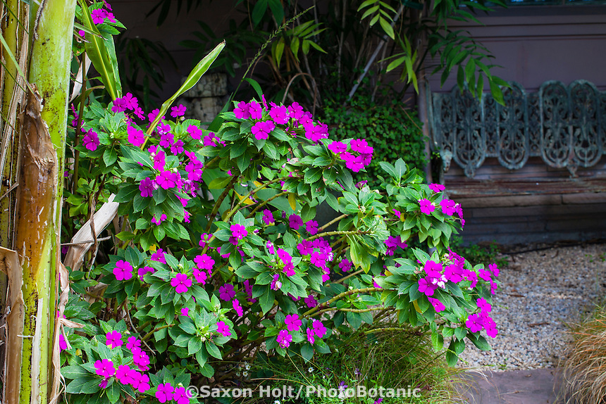 Magenta flower Impatiens by path in Sherry Merciari garden