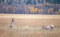 A pronghorn buck performs the Flehmen response to sense if his females are ready to mate.