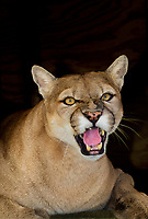 656320015 a mountain lion felis concolor rests in its den at a wildlife rescue facility - animal is a wildlife rescue animal  - species is native to most of the new world