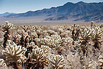 Joshua Tree National Park, California; Cholla Cactus Garden, views of Teddy-Bear Cholla (Cylindropuntia bigelovii) cactus