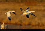 Snow Goose and Ross's Geese, Flyout at Sunrise, Bosque del Apache Wildlife Refuge, New Mexico