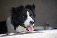 Collie dogs in the back of a shepherd pickup truck<br /> ©Tim Scrivener Photographer 07850 303986<br />      ....Covering Agriculture In The UK....