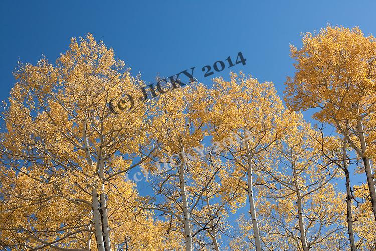 Aspen trees - fall colors