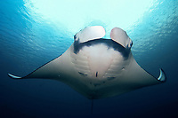oceanic manta ray, Manta birostris, heading for a sommersault in the blue from below, Hin daeng, red rock, Andaman sea, Indian Ocean, Thailand, Asia