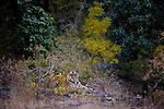 Tiger, Bandhavgarh National Park, Inida