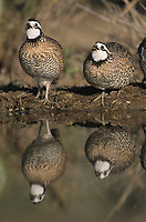 Northern Bobwhite, Colinus virginianus,male at pond, Starr County, Rio Grande Valley, Texas, USA, April 2002