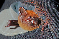 Großer Abendsegler in Hand wird untersucht, Forschung, Fledermausschutz, Fledermaus-Schutz, Nyctalus noctula, common noctule, noctule bat, La Noctule commune
