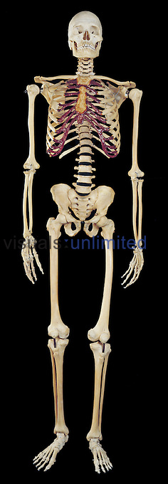 The complete human skeleton from the front. The human skeleton is a bony framework composed of 206 bones, that supports the body, gives it shape, protects the internal organs. The muscles of the body attach to the skeleton and provide movement and locomotion.