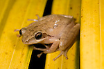 Common Tree Frog, Polypedatus maculatus, Bandhavgarh National Park.India....