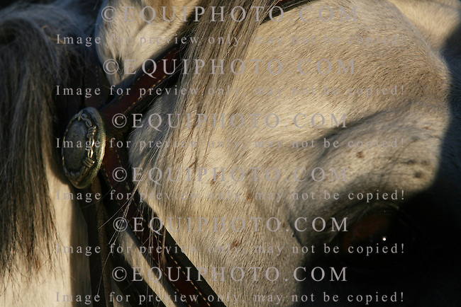 Closeup of the temple of a escort pony during early morning workouts at Monmouth Park in Oceanport, N.J. Photo By Bill Denver/EQUI-PHOTO