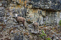 Stone sheep or Stone's sheep (Ovis dalli stonei), a southern subspecies of Thinhorn Sheep, ewe and lamb on steep hillside.  Northern British Columbia.  Sept.