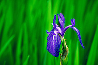 Purple iris flower.