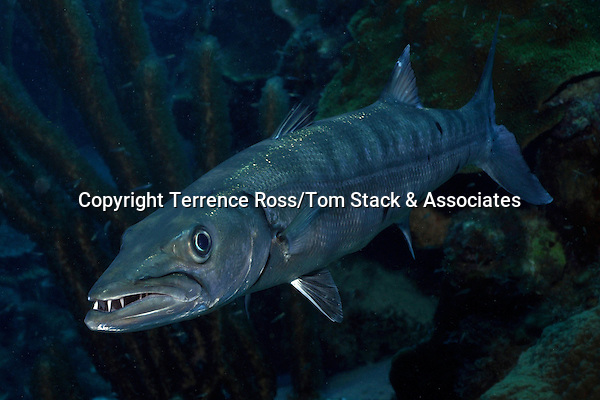 Great barracuda (Sphyraena barracuda ) Widespread in most tropical waters. Can be potentially dangerous if provoked. Bonaire