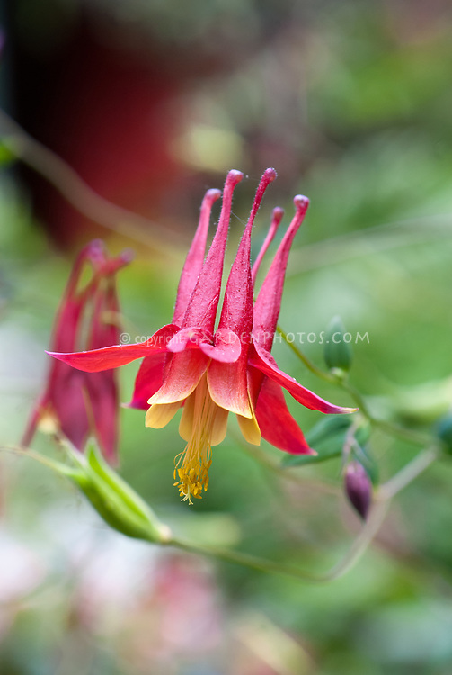 Aquilegia red and yellow hybrid canadensis