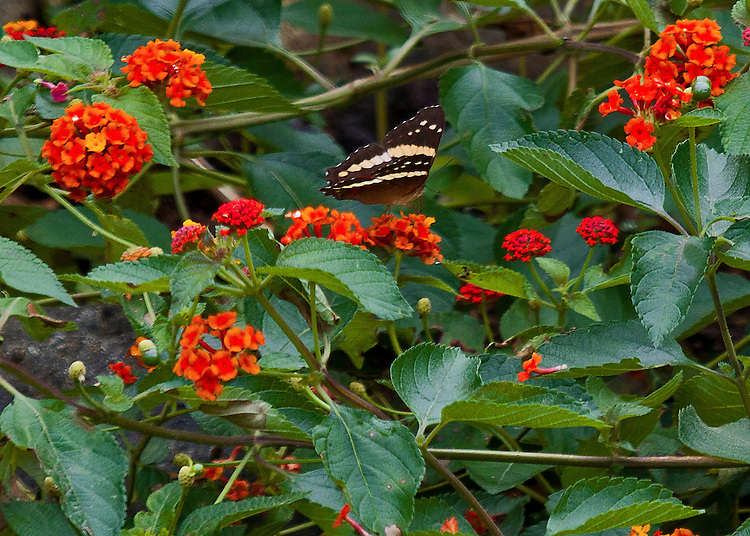 A Banded Peacock or Fatima sipping from one flower in a garden full of red flowers planted in Costa Rica just to attract butterflies..