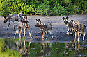 African wild dogs (Lycaon pictus) drinking at water hole, Botswana, Okavango Delta, Moremi Game Reserve