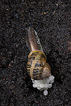 Garden Snail, Helix aspersa, laying eggs in soil at night