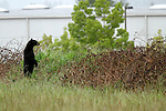 06/01/11--An adult black bear stands on his hind legs to look over a berm in a field between Tualatin Elementary School and an industrial park along SW 95th Avenue....Photo by Jaime Valdez..........................................