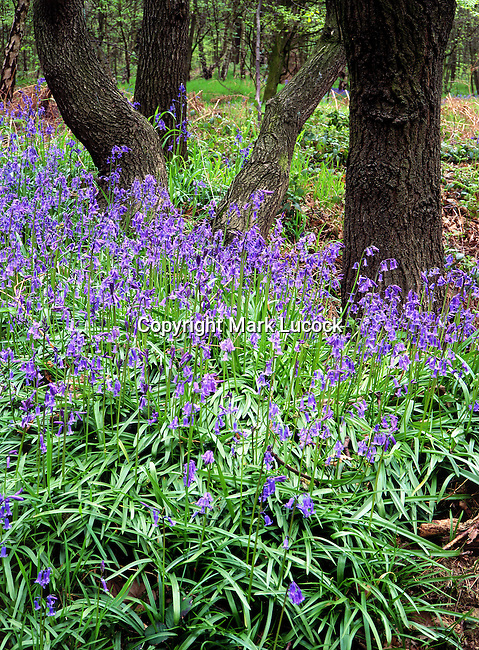 Spring woodland and patch of bluebells