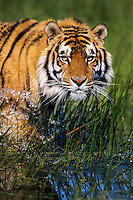 Bengal tiger (Panthera tigris) wading in shallow wetlands.