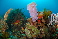 Azure vase sponge, Callyspongia plicifera, grow solitary or in groups of two or three, Martinique, French Island, Caribbean Sea, Atlantic