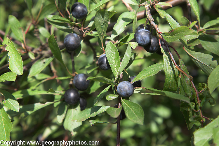 Purple sloes and green leaves on blackthorn bush, prunus spinosa, growing in Suffolk, England
