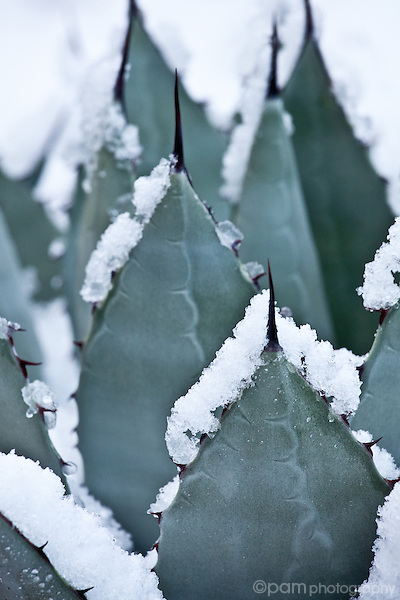 Desert cactus with snow
