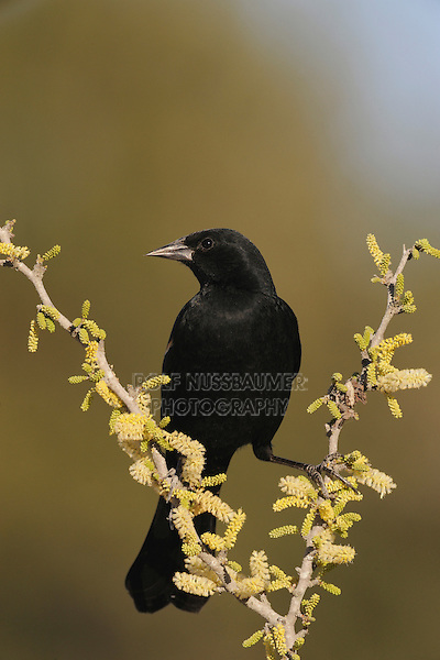 Red-winged Blackbird (Agelaius phoeniceus), male on Blackbrush Acacia (Acacia rigidula), Dinero, Lake Corpus Christi, South Texas, USA