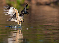 Yellow-headed Caracara (Milvago chimachima) swoops down to snatch up a fish.  The Pantanal, Brazil.