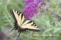 03023-03108 Eastern Tiger Swallowtail (Papilio glaucaus) on Butterfly Bush (Buddleja davidii) Marion Co. IL