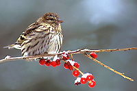 Pine Siskin on Winterberry Branch  #B8