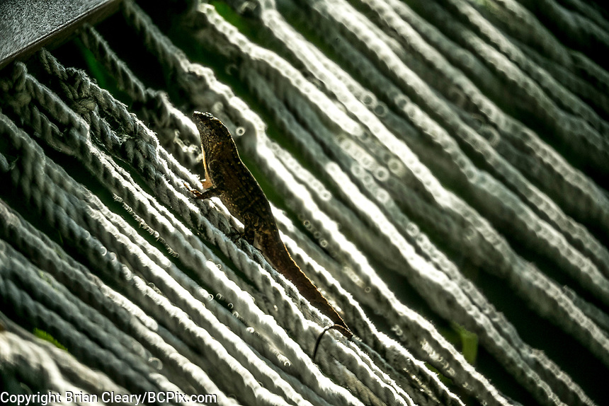 Brown Anole Lizard on a hammock , Holly Hill, FL, May 2019, Rokinon 300mm f6.3 mirror lens on a Canon EOS 1DX digital body. (Photo by Brian Cleary/ www.bcpix.com )