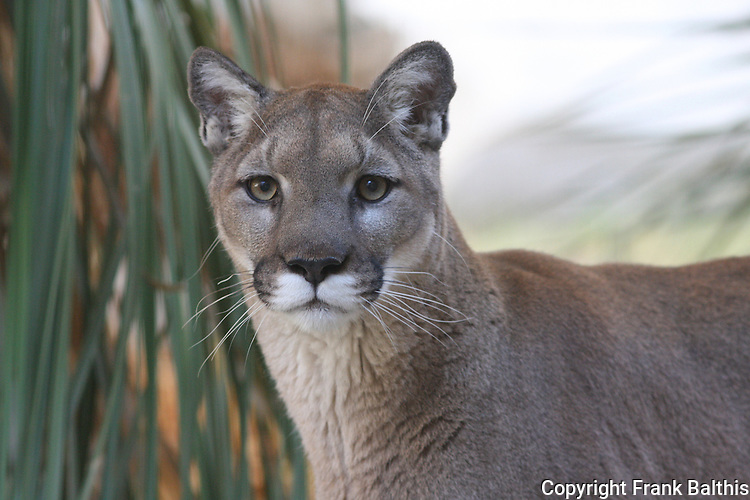 mountain lion in Palm Desert