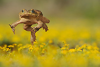 Cane Toad, Marine Toad, Giant Toad (Bufo marinus), adult jumping in Dogweed (Dyssodia pentachaeta) field,  Laredo, Webb County, South Texas, USA