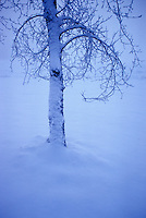 Lone tree on Prairies, anthropomorphic tree branches viewed as rib cage after snowstorm, twilight, St. Albert, Alberta.