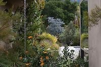 Leucospermum praecox 'Patricia' flowering in California summer-dry garden with tall Hakea elliptica, silver foliage Acacia baileyana, A. viscidula, Banksia praemorsa; design Jo O'Connell