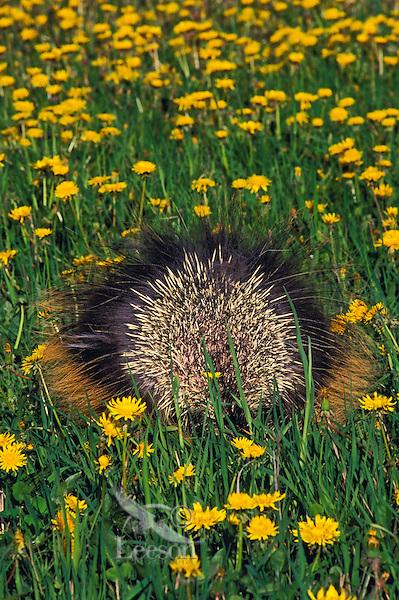 PORCUPINE in dandelion field displaying quills to ward off danger..Spring. Rocky Mountains..(Erethizon dorsatum).
