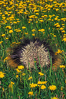 PORCUPINE in dandelion field displaying quills to ward off danger..Spring. Rocky Mountains..(Erethizon dorsatum).