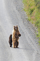 Sow grizzly bear with a spring cub stand up in the middle of the Denali Park Road, Denali National Park, Alaska