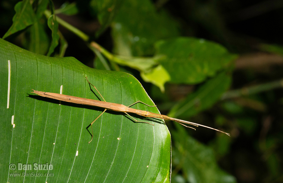 Stick Insect, Order Phasmatodea, at Bosque Eterno de los Niños (Children's Eternal Rainforest), Monteverde, Costa Rica