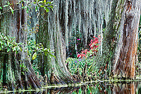 Baldcypress trees draped with Spanish Moss,.Magnolia Plantation, Charleston, South Carolina.Baldcypress trees draped with Spanish Moss,.Magnolia Plantation, Charleston, South Carolina