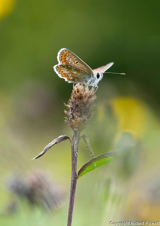 Brown Argus Butterfly, Aricia agestis,  Queensdown Warren, Kent Wildlife Trust, UK, wings open in flower meadow