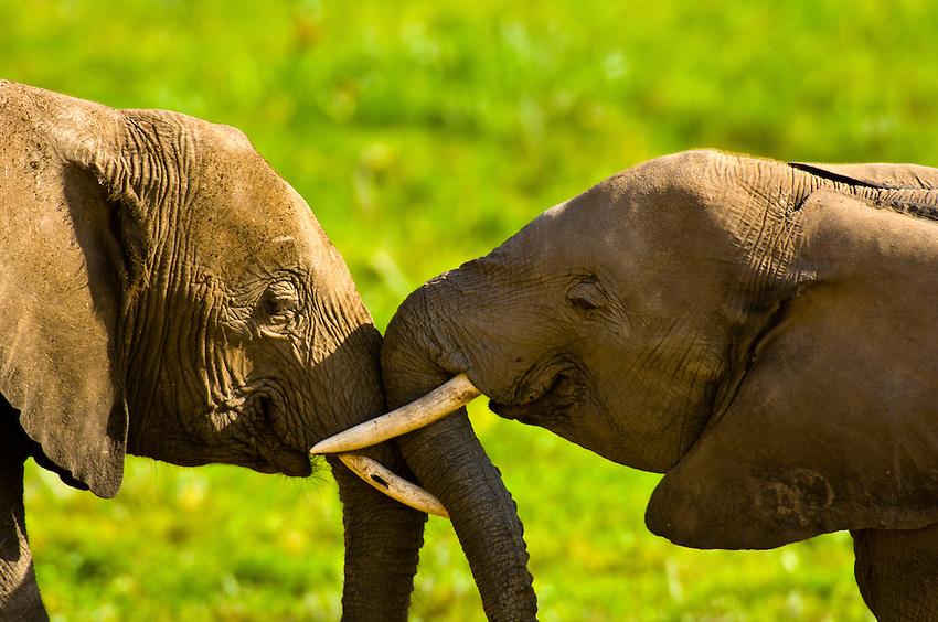 A herd of African elephants, Amboseli National Park, Kenya
