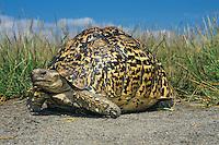 African leopard tortoise (Geochelone pardalis), Serengeti Plains, Tanzania.