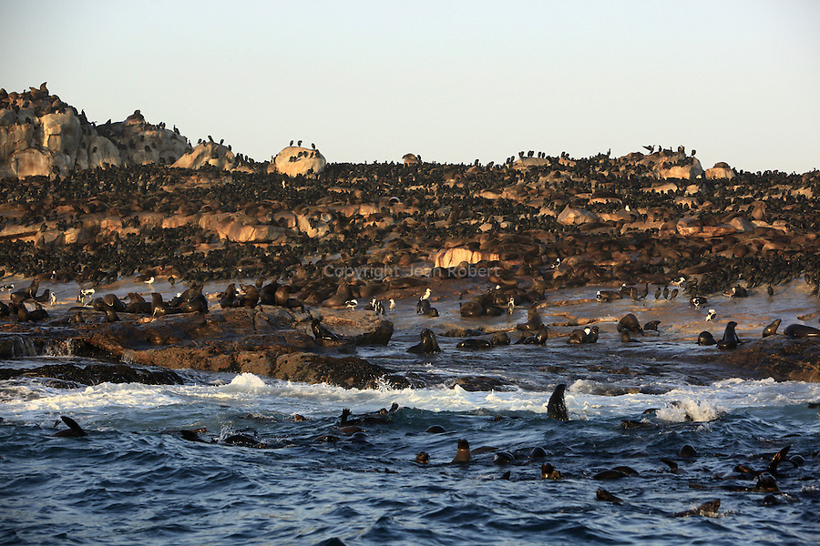 Great whites off South Africa patrol near seal colonies, watching for prey on the surface. They attack with such force that they launch into the air